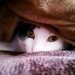 nabe_cat_1